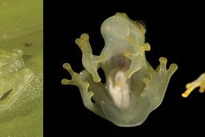 žaba hyalinobatrachium pellucidum.