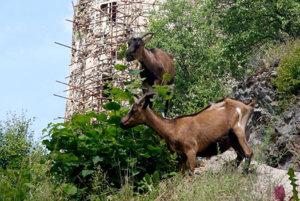 Dve kozy už spásajú bujnú vegetáciu.
