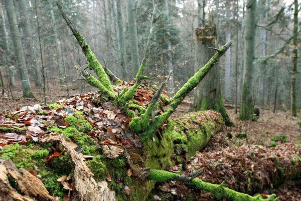 Dobročský prales.