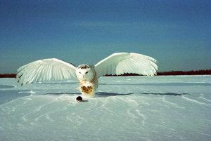 Sova snežná na love.