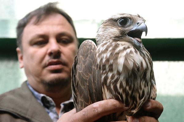 Na snímke veterinárny lekár Ladislav Molnár s odchyteným sokolom rárohom v rehabilitačnej stanici v Rozhanovciach.