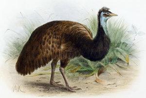 Trpasličí vták emu vyhynul v roku 1827. Žil iba na Klokaniom ostrove na juhu Austrálie.