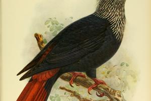 Holub modrý je tiež vyhynutým druhom z ostrova Maurícius. Vymrel v 30. rokoch 19. storočia. vymrel kvôli odlesňovaniu a predátorstvu.