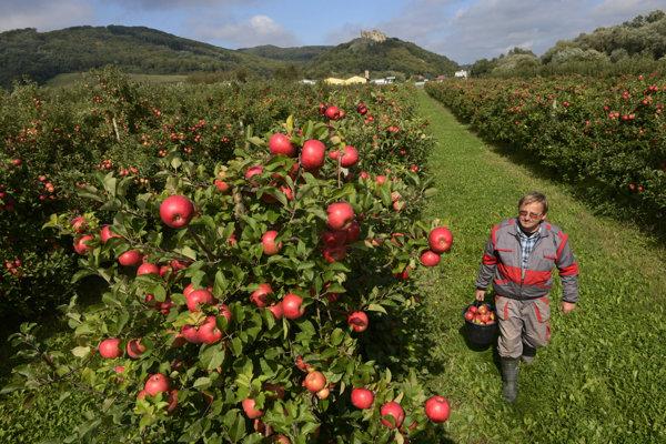 Jablká odrody Topaz, ktoré zachraňujú tohtoročnú úrodu v Sedliskách.