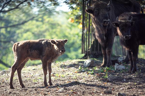 Krstené zubrie mláďatko v bratislavskej zoologickej záhrade.