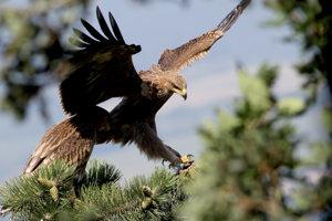 Orol kráľovský, ktorý patrí na Slovensku medzi vzácne druhy.