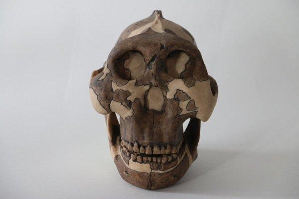 Odliatok tváre Parantropa Boiseovho -australopiteka zinžantropa.