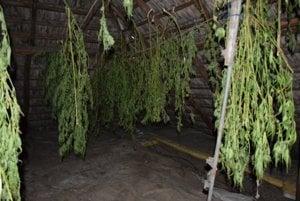 Sušiareň. Muž marihuanu aj pestoval a sušil.