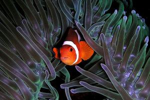 Klaun očkatý ukrytý v morskej sasanke.