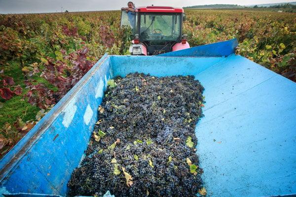 V okolí Trnavy je kopu vinohradov, ktoré taktiež vyhľadávajú turisti.