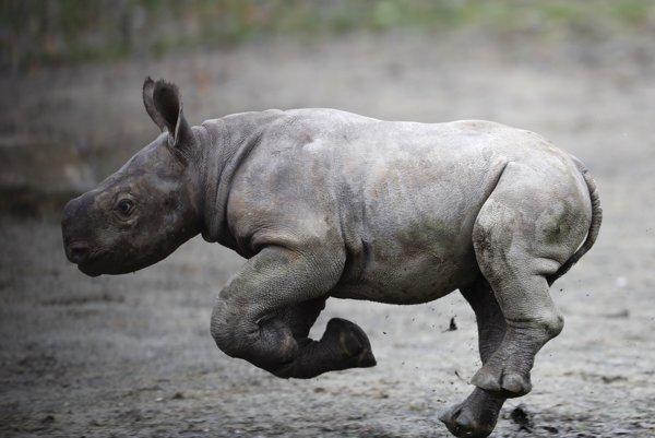 V pondelok 2. októbra sa v ranných hodinách v ZOO Dvůr Králové narodilo mláďa nosorožca dvojrohého.