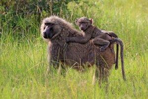 Mozog človeka spotrebuje tiež viac telesnej energie ako mozog opíc zo starého sveta ako napríklad mozog paviána.