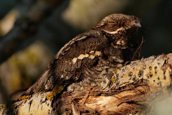 Lelek lesný cez deň odpočíva.