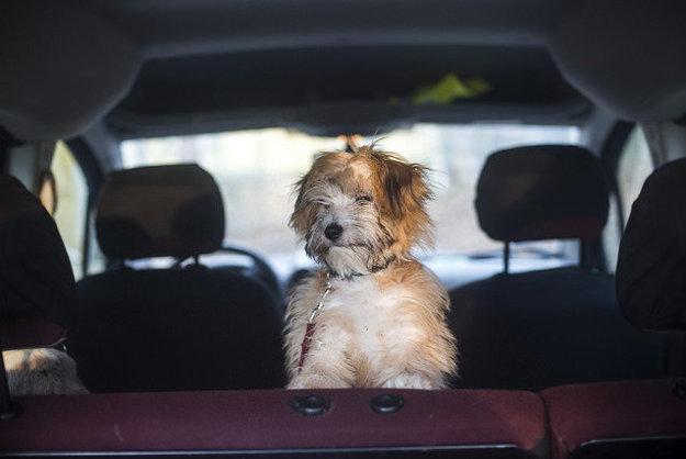 Na cestovanie je psa dobré navykať vopred.