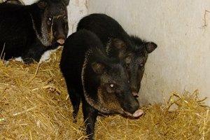 V košickej zoo pribudli párnokopytníky pekari bielopáse