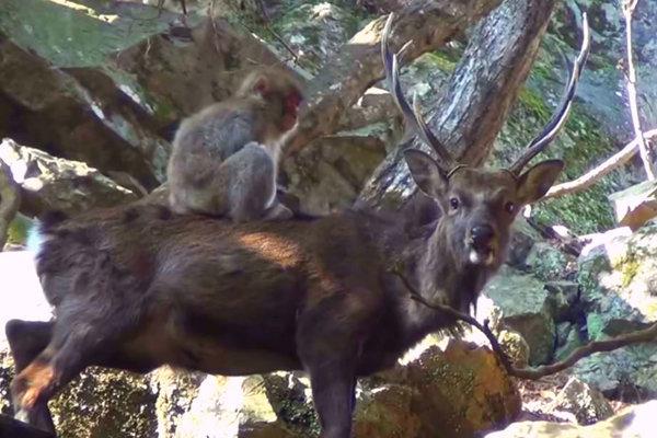 Záber z videa, kde sa samica ukája na jeleňovi.