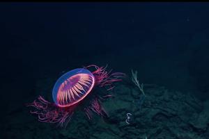 Medúza Halitrephes maasi.
