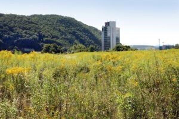 Koncom leta zvyknú zakvitnúť inváznou rastlinou  zlatobyľ v Banskej Bystrici obrovské plochy