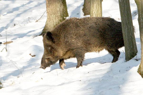 Africký mor sa rozšírili u diviačej zveri na Morave. Nebezpečný je ale aj pre domáce ošípané.