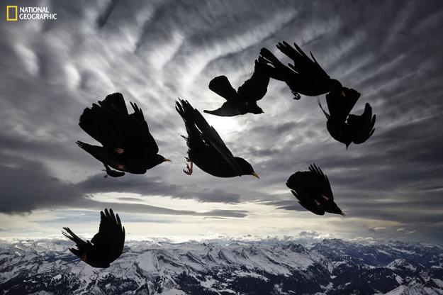 Kŕdeľ čaviek zltozobých predvádza svoje akrobatické kúsky vo vzduchu.