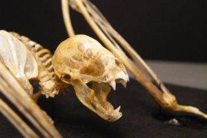 Kostra netopiera druhu Desmodus rotundus.