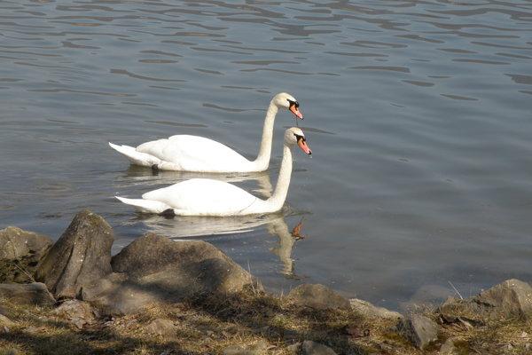 Slnečné počasie si užíval aj pár labutí.