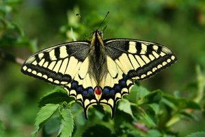 Vilochvost feniklový je pekne sfarbený len krátko po vyliahnutí. Žlť na krídlach rýchlo oprchá pri lietaní.