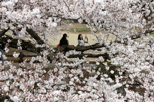 Rozkvitnuté sakury v Japonsku.