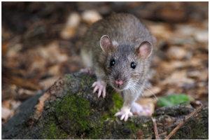 Potkan hnedý.