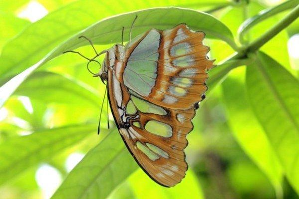 Jeden z motýľov v BZ UPJŠ Košice.