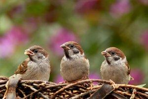 Vrabce domové.