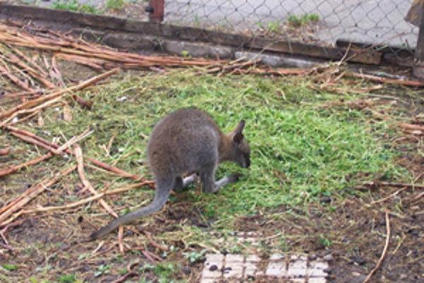 Novým obyvateľom MiniZOO je aj mláďa kengury červenokrkej.
