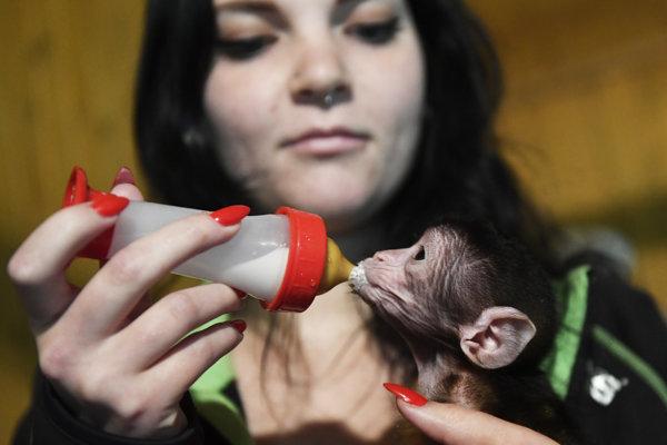 Malý makak musel prejsť na  mlieko z fľaše.