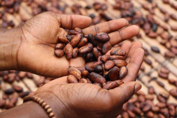Sušené kakaové bôby.