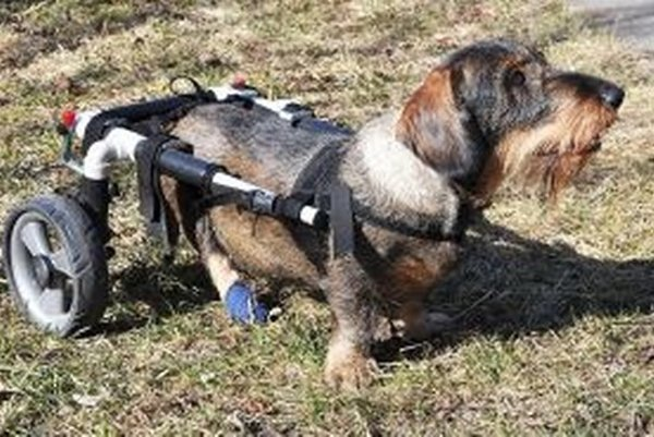 Popo s pomocou vozíka naháňa psie krásavice.