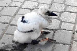 Mláďa bociana po vypadnutí z hniezda.