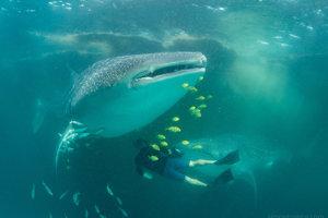 Žralok veľrybí.