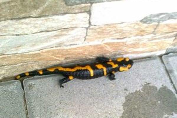 Salamandra škvrnitá. Udomácnila sa v záhrade mladej rodiny z Vyšného Kubína, tá nevie, čo s chráneným živočíchom robiť.