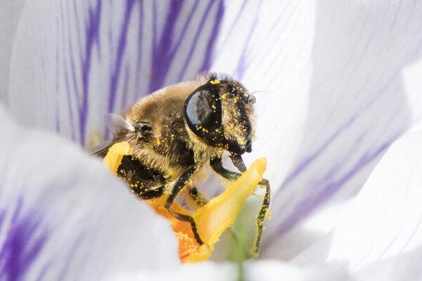 Včela opeľuje kvet šafranu jarného.