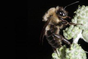 Včely počas úplného zatmenia zrazu prestanú lietať.