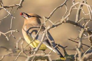 Vták druhu Bombycilla cedrorum, v Česku známy ako brkoslav americký.