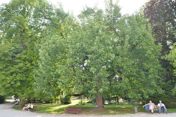 Magnólia končistolistá v parku kaštieľa Betliar. FOTO: PP