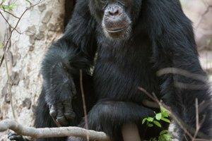 Silný a mocný alfa samec David, vedie skupinu 32 šimpanzov.