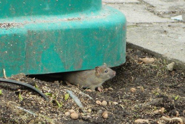 Potkany vidieť najmä okolo kontajnerov.