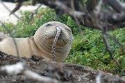 Mladý tuleň havajský mal v nose zaseknutého úhora. Za posledných pár rokov videli výskumníci tri až štyri podobné prípady.