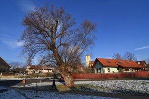 Na snímke vyše 150 rokov stará vŕba v centre obce