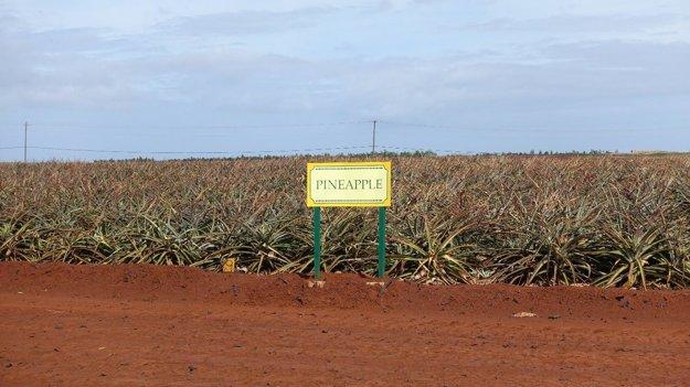 Ananásové pole naDolovej plantáži