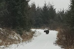 Medvede podľa zoológa neprespia celú zimu.