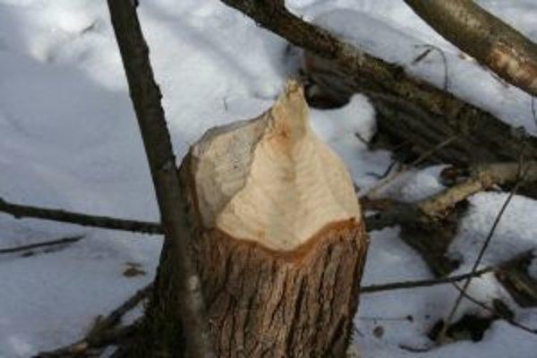 Obhryzené stromy sú dôkazom, že bobor sa po dlhých desaťročiach vrátil do liptovskej prírody.