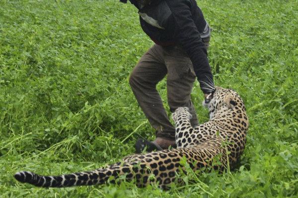 V Indii sa zatúlal leopard.